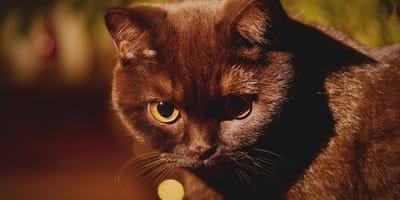 La sindrome di Horner nel gatto: cause, sintomi e cure