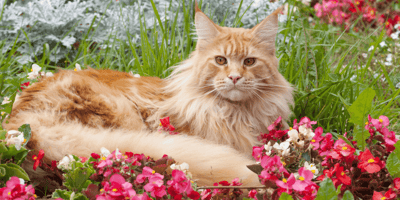 Maine Coon cat in a garden with flowers