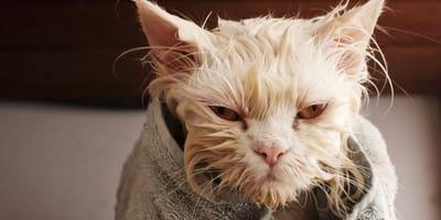 ''Ser gato no es fácil''... ¡los gatos lo dejan muy claro en TikTok! (Vídeo)