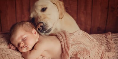 criar a un bebé con un perro golden retriever