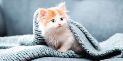 Katzen könnten die nächsten Überträger von Coronaviren werden