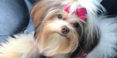 Little dog with pink ribbon in hair