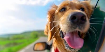 Un perro golden retriever viajando en auto