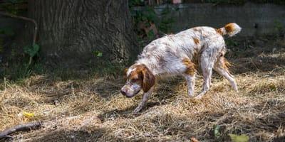 perro de raza breton caminando por el campo