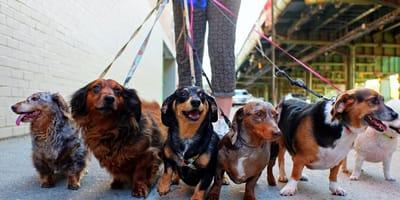 Paseadores de perros en Buenos Aires: formación, requisitos y tarifas