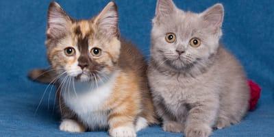 Dos gatitos de raza munchkin