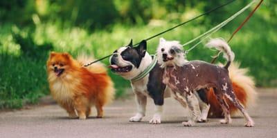 Hunde beim Spaziergang.