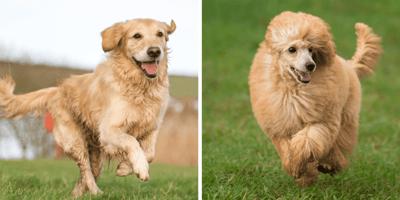 Labradoodle: características del polémico cruce entre labrador y caniche