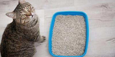 Il gatto non usa più la lettiera? Ecco cause e soluzioni