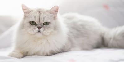 Gato persa: promedio de vida de esta adorable raza gatuna