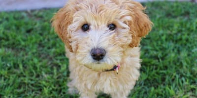 Labradoodle puppies: 5 lovely pups that you just have to see