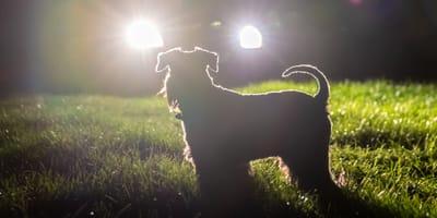 Hund im Scheinwerferlicht eines Autos