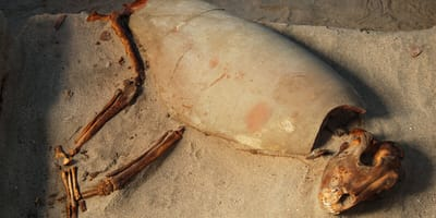 <p>Ciało psa zostało przykryte kawałkiem naczynia jak wiekiem sarkofagu</p>