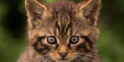 Próbują ocalić małego kociaka. Nie wiedzą, że to najrzadszy kot w Europie!
