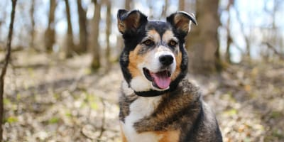 Schäferhund-Mischling: Wesen, Erziehung und Gesundheit