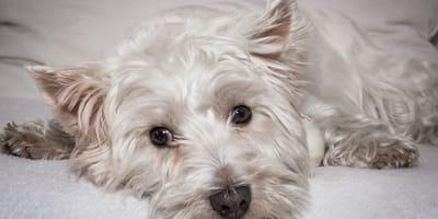 West-Highland-Terrier-bianco-disteso-a-terra