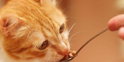 ¿Qué dieta debe seguir un gato con diarrea?