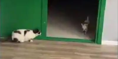 White and black cat waiting by open green door