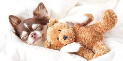 Estas son las razas de perros más pequeñas del mundo