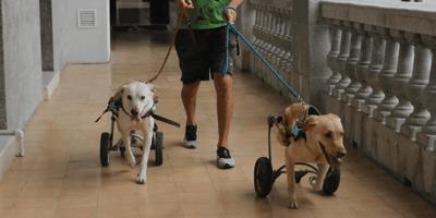 Perros con silla de ruedas