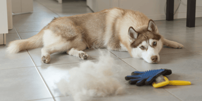 husky laying on floor next to shed fur