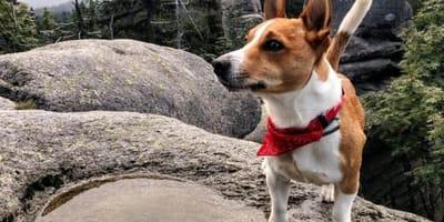 Un Terrier fiuta qualcosa e trascina il padrone verso un pozzo