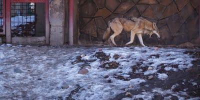 Rottweiler jako wilk
