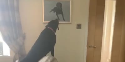 Labrador sees portrait of departed brother and has most heartbreaking reaction