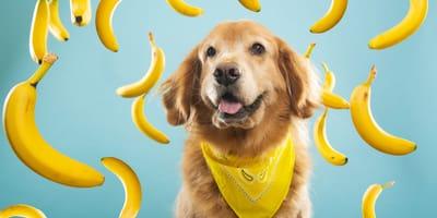 Czy pies może jeść banany?