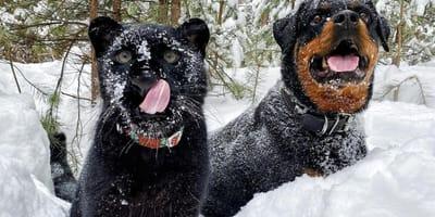 Rottweiler i pantera: miłość tej dwójki przyjaciół sprawi, że wstrzymacie oddech! (VIDEO)