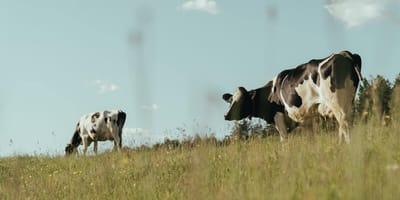 Veterinaria va a curar una vaca en el campo: en eso ve una sombra y se echa a correr