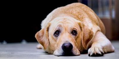 Choroba Addisona u psa - objawy i leczenie