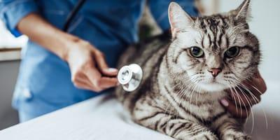 ¿Cómo saber si tu gato está empachado?