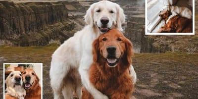 kiko-e-watson-due-golden-retriever-che-si-abbracciano
