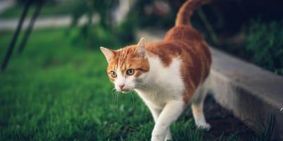 Czy wszystkie koty znaczą teren?