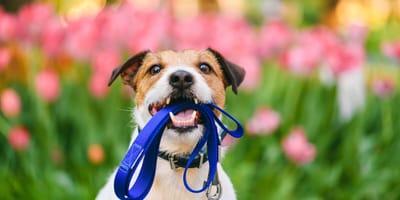 Pasear al perro en primavera: todo lo que debes saber