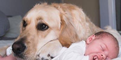 Golden retriever zostaje opiekunem niemowlęcia od narodzin i to, co robi, jest wzruszające!