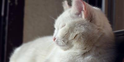 gatta-bianca-con-occhi-chiusi