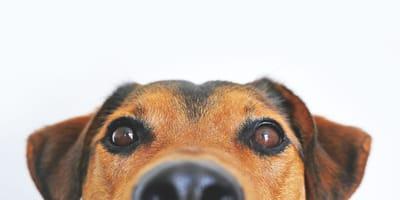 perrito ojos