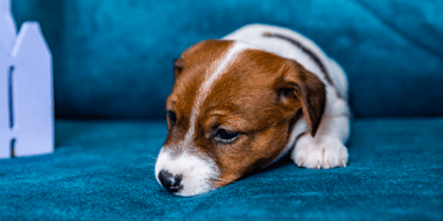 A jack russell puppy lies on a sofa