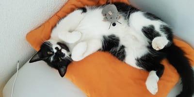 Mimo pandemii, Polka przejeżdża kilka tysięcy kilometrów tygodniowo, by znaleźć zaginioną w Niemczech kotkę