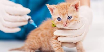 ¿Qué necesitás saber para vacunar a tu gato en Argentina?