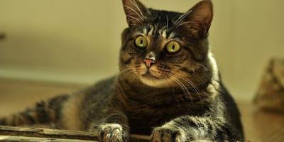 Covid-19: primo caso in Piemonte di variante inglese su un gatto