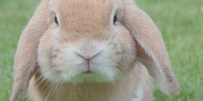 Conejos en riesgo en EDOMEX: confirman brote de enfermedad hemorrágica del conejo