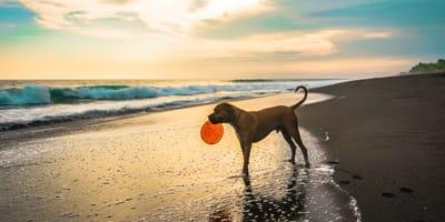 Los perritos no podrán ir a las playas de Mazatlán en esta temporada vacacional