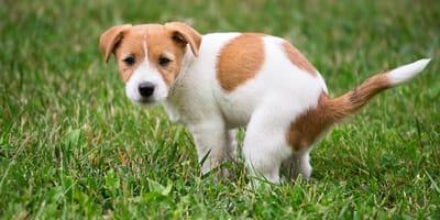 ¿Cómo enseñarle a un cachorro a hacer sus necesidades en un solo lugar?