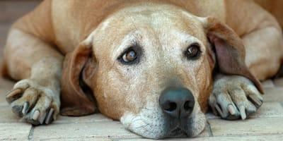 Disfunción cognitiva en perros mayores: causas, síntomas y tratamiento