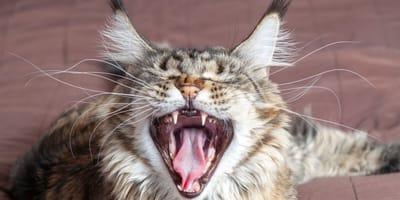 Mi gato maúlla mucho: ¿le pasa algo malo o es normal?