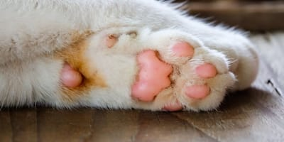 zampine-incrociate-di-un-gatto-bianco
