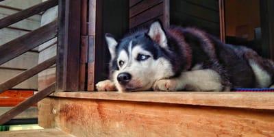 Quali sono le posizioni del cane quando soffre o sta male?